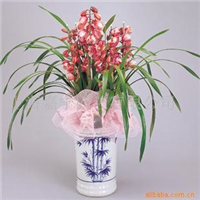 供应大花蕙兰室内花卉兰花园艺绿化