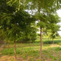 辽宁山楂树