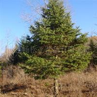 冷杉(胸径1--30cm)优质苗木,品质优良、价格实惠