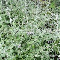 水果兰灌从石蚕唇形科石蚕属木本植物,常绿乔木类