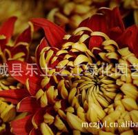 黄金菊罗马春黄菊优质草花,节日首选盆栽花卉,成活率高!