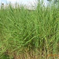 供应水生植物芦苇
