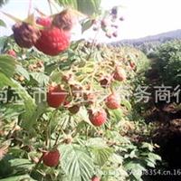 批发零售红树莓果树苗马林托吧自产自销可盆栽地栽保建抗癌