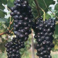 水果种子葡萄种子巨峰多汁皮薄产量高香甜可口0.1元/粒