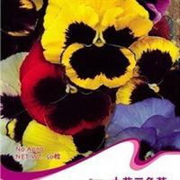 大花三色堇种子人面花猫脸花蝴蝶花花开具芳香波兰冰岛国花