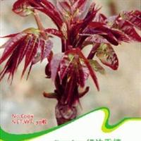 红油香椿种子香椿铃适合鲜吃焯烫慢腌营养蔬菜30粒彩包