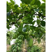国内首家野生珍稀水果三叶木通果训化改良种苗(记录生长过程)