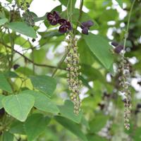 供应国内首家野生珍稀水果三叶木通果驯化培育改良苗(多籽型)