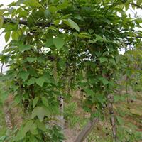 供应国内首家野生珍稀水果三叶木通果驯化培育改良种苗(多籽型)