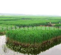 水体净化植物芦苇苗批发