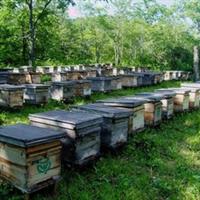 批发出售纯椴树蜂蜜出售长白山野知堂牌纯椴树原蜜