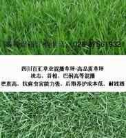特价批发进口绿化早熟禾种子