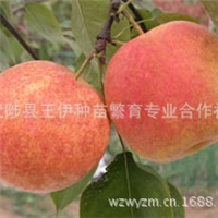 武陟王伊种苗供应满天红梨苗座果率高花序座果率为70%