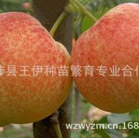 美人酥梨苗丰产抗逆性和适应性强值得推广