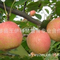 短果枝结果为主短果枝占总结果量的70%满天红梨苗