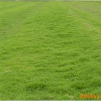 【批发选购】供应优质草坪---狗牙根草坪,欢迎选购!