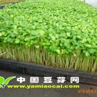 香椿芽的做法香椿无土栽培香椿苗购买香椿种子香椿价格