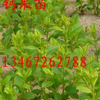 批发钙果苗/钙果苗种子