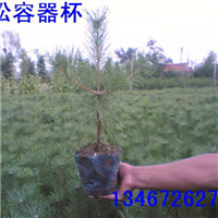 营养杯油松苗,1-5米油松。