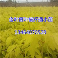 金叶复叶槭,金叶丝棉木,复叶槭