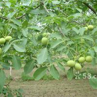 供应核桃苗、皂角苗及各种果树苗
