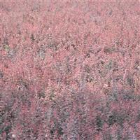 顺义紫叶小檗