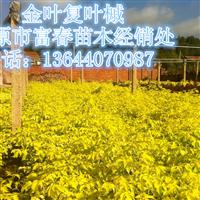 供应辽宁金叶复叶槭|复叶槭价格