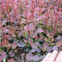 山东红叶小檗价格/青州红叶小檗
