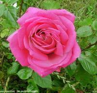 四季玫瑰,红王子锦带,紫荆,