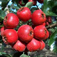 山西红果树山楂苗