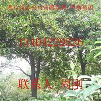 苏州桂花树批发价格、光福桂花树