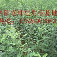 2015批发销售优惠皂角苗