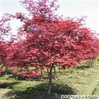 红枫 成都日本红枫的价格 红枫基地