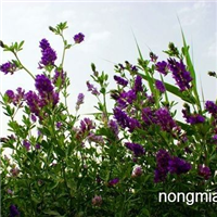 供应 紫花苜蓿、紫花苜蓿小苗、紫花苜蓿工程苗
