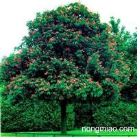 基地供应:红花七叶树 1-15公分 七叶树