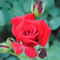 专供月季苗木 大花月季 蔷薇月季 红帽月季 营养钵月季