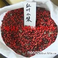 红叶小檗种子价格