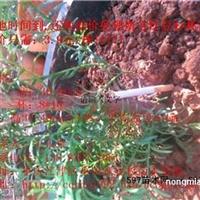 南方红豆杉小苗,<30-90cm三年半>上车价3.9元王永皋