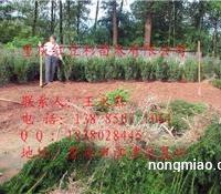 四川曼地亚红豆杉小苗基地,曼地亚红豆杉小苗