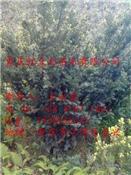 曼地亚红豆杉小苗贵州曼地亚红豆杉小苗一年苗