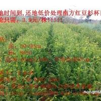 重庆江津低价出售:曼地亚红豆杉小苗,苗木.......