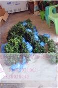 贵州曼地亚红豆杉小苗基地、曼地亚红豆杉小苗和枝条