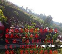 曼地亚红豆杉小苗一、二年生苗,南方红豆杉小苗一、二年生苗