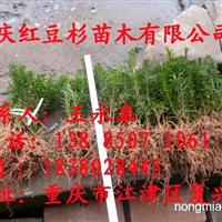 曼地亚红豆杉小苗 小苗红豆杉