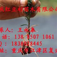 南方红豆杉小苗/南方红豆杉盆景/红豆杉枝条