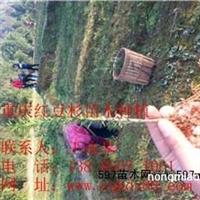 曼地亚红豆杉小苗/曼地亚红豆杉苗/大叶女贞苗
