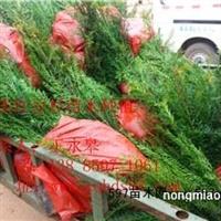 重庆红豆杉苗木基地/批发/南方红豆杉苗、曼地亚红豆杉苗