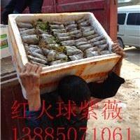 重庆四川红火箭紫薇小苗 红火球紫薇小苗 红叶紫薇小苗