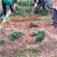 曼地亚红豆杉小苗----枫驰园艺