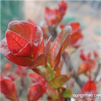 美国红叶紫微苗,美国红叶紫微小苗,重庆枫驰园艺